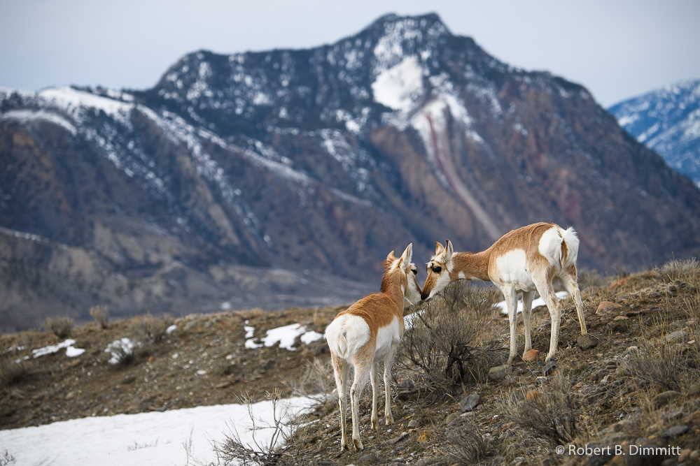 Pronghorn (1 of 1)