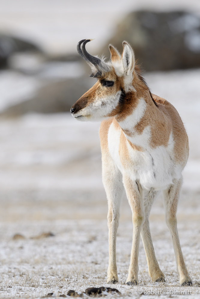 Pronghorn (2 of 1)